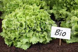 Bio Salat im Gemüse Garten