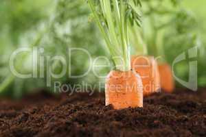 Gesunde Ernährung Karotten im Gemüse Garten