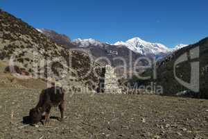 Grazing calf and snow capped Pisang Peak