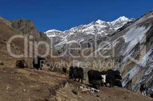 Herd of yaks on the way to Thorung La Pass