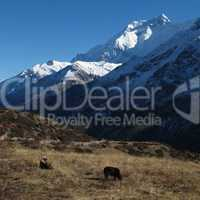 Grazing yaks in front of Annapurna Two