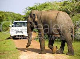 Wild elephant is crosses the way