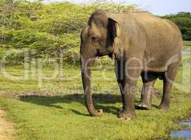 Portrait of an indian elephant in the National Park