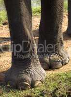 Closeup of feet of an elephant