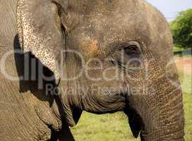 Closeup of an indian elephant