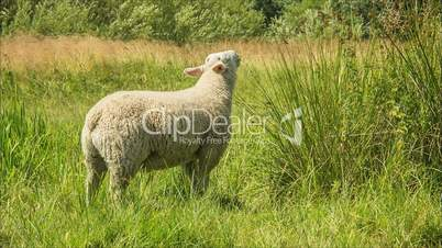Sheep grazing in meadow on a sunny day