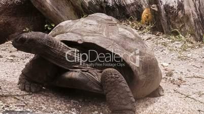 Aldabra Giant Tortoise at La Digue // Seychelles HQ