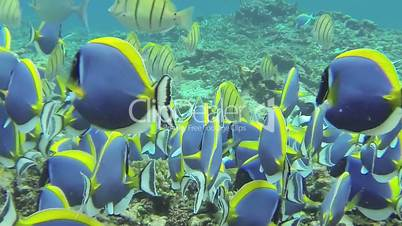 Swarm of Powderblue Surgeonfish in the Indian Ocean // Underwater HQ