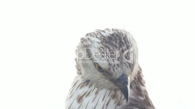 bird of prey is isolated on a white background. Honey buzzard