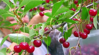 Senior farmer reaping the crop of cherry in orchard