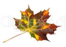 Multicolor autumnal maple leaf