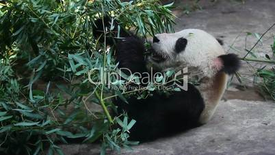 Beijing Olympic panda at eating time HD.