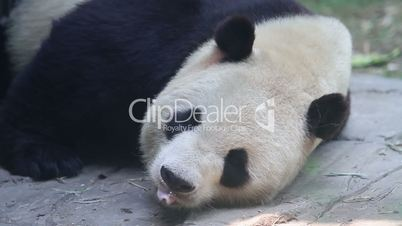 Beijing Olympic panda in sleeping HD.
