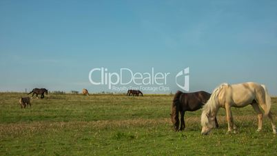 Seven Horses on a Danish Field // HD