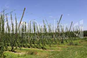 Cultivation of hops