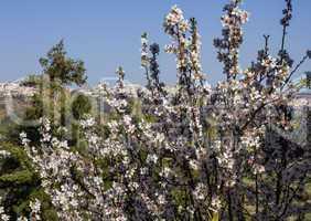 Beautiful almond flowers .