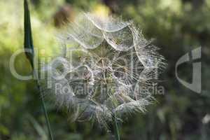Giant wild dandelion.