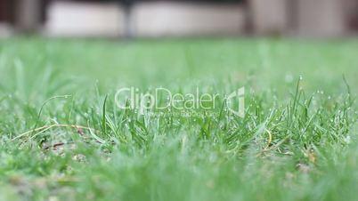 fresh grass after rain