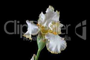 Flower of iris, lat. Iris, isolated on black backgrounds