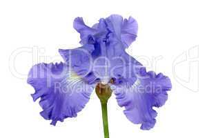 Flower of iris, lat. Iris, isolated on white backgrounds