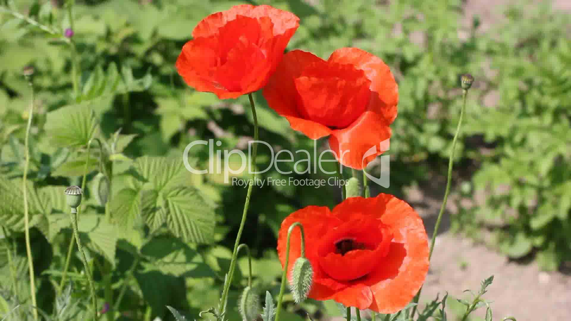 Poppy Flower On The Wind Royalty Free Video And Stock Footage