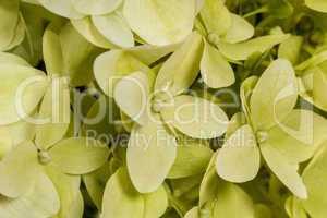 Background of flowers hydrangeas paniculata, lat.Hydrangea panic