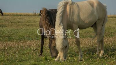 Two Horses feeding on a Danish Meadow // HD