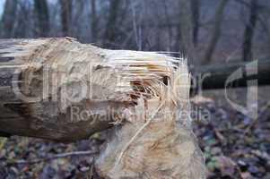 Tree after beaver's job