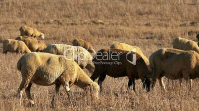 Flock of Sheep Grazing on Fields Alentejo, Portugal