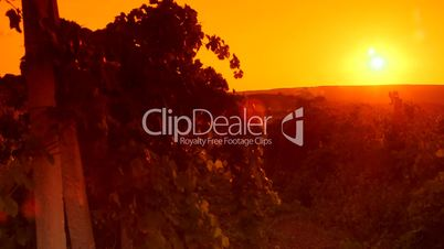 Setting red sun over vineyard hills