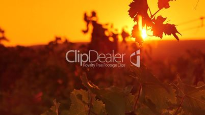 Grape leaves shining in rays of the setting sun over vineyard valley