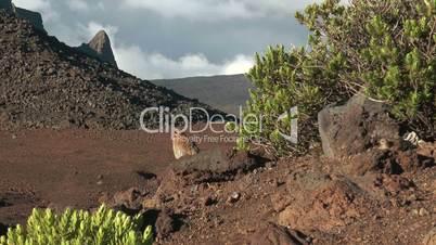 chukar hen sitting on lava rocks