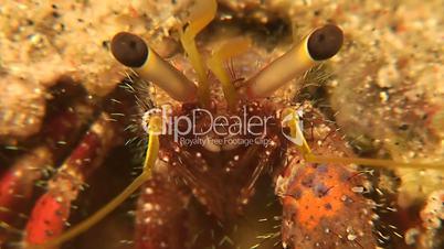 Hermit crab - close up