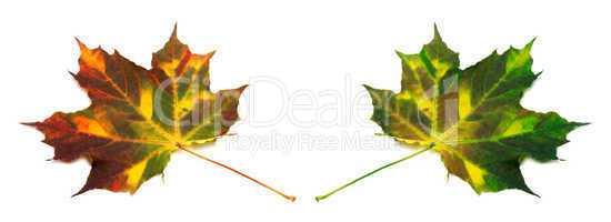 Multicolor autumn maple leafs