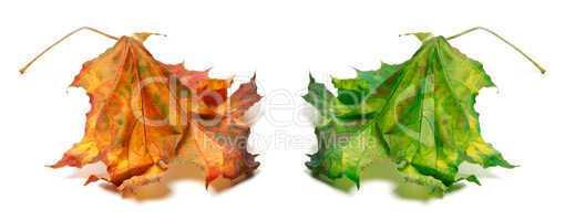 Dry orange and green maple-leaf
