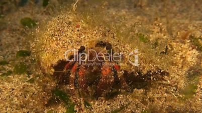 Hermit crab on sandy bottom when eating