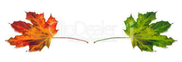 Multicolor maple-leafs