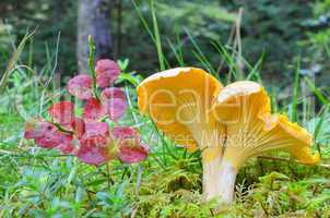 Chanterelle and red leaves