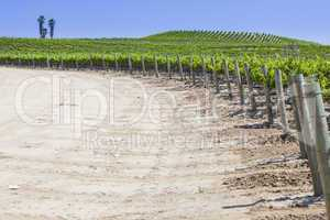 Beautiful Lush Grape Vineyard with Room For Text