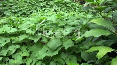 Vegetable Plants, Leaves, Foliage, Nature