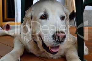 Golden Retriever unterm Sessel