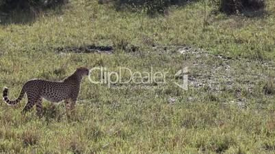 Cheetah Africa Wildlife Safari Stalking