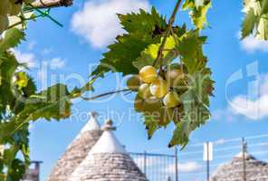 Grape on a beautiful summer day in Alberobello, Apulia - Italy
