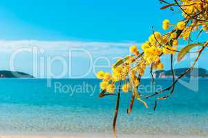 spring to the sea in Sardinia with a mimosa
