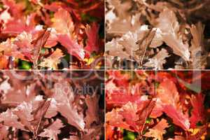 Autumn oak leaves in four variants