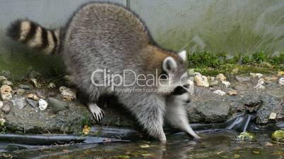 North american raccoon (Procyon lotor) washing his paws in  garden pond
