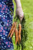 Hand mit geernteten Möhren, Womans hand with harvested carrots