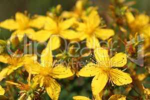 Yellow beautiful flowers of St.-John's wort