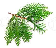 Twig of thuja