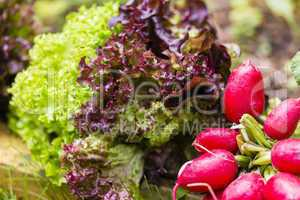 Salat und Radieschen, Salad and cultivated radish